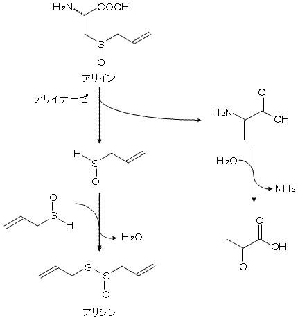 アリインの酵素反応